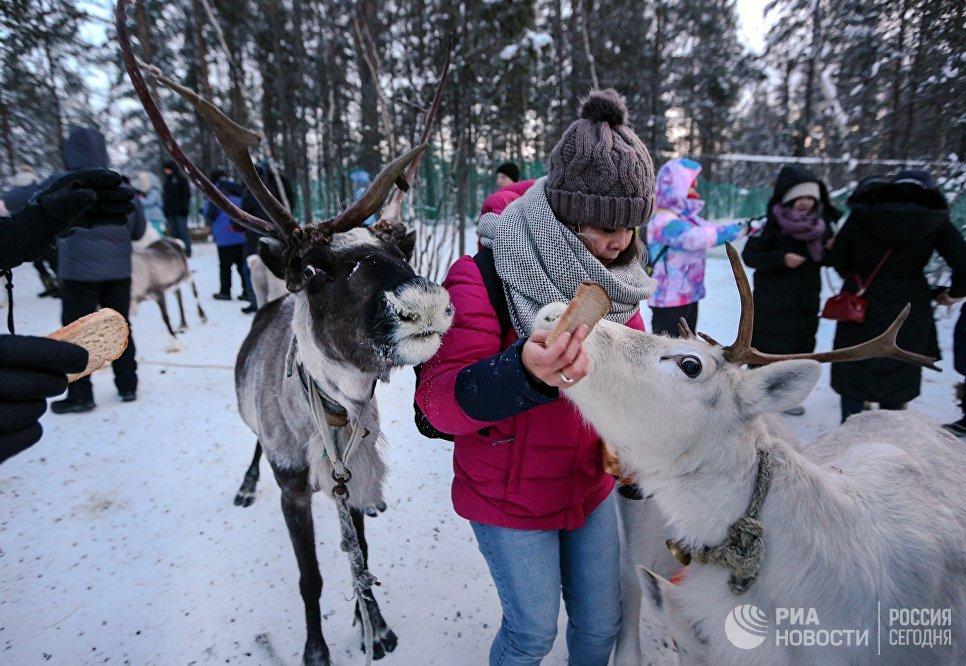Китайские туристы с оленями в саамской деревне Самь-Сыйт в поселке Ловозеро Мурманской области