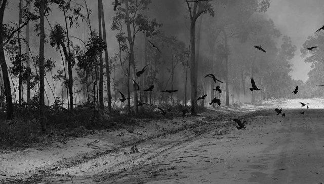 Огненные соколы разжигают пожар и ловят грызунов