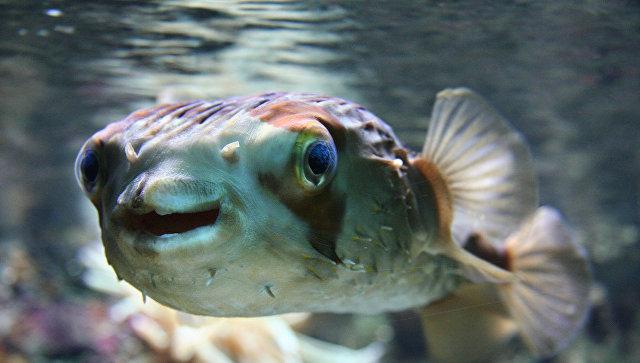 Вяпонском городе начался переполох из-за рыбы фугу