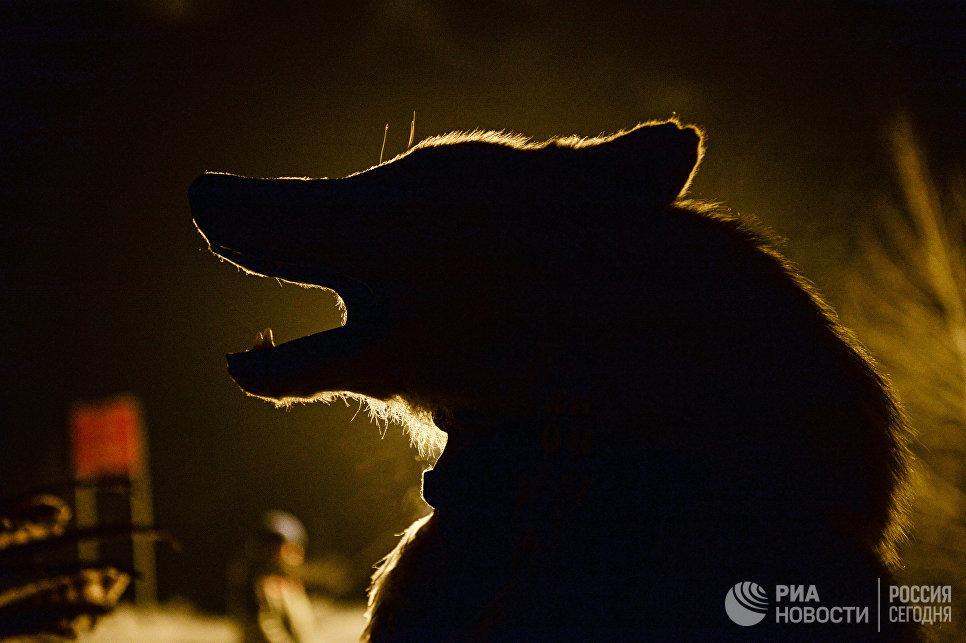 Шаман перед обрядом Сан салыр в национальном парке культуры и отдыха, на берегу Енисея в Кызыле. Сан салыр - обряд встречи солнца, первые лучи которого означают наступление Шагаа (Нового года по лунному календарю).