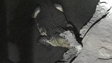 Крокодил, обнаруженный в результате обыска в подвальном помещении частного дома в Петергофе