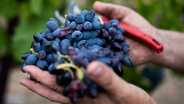Сбор урожая на виноградниках в Крыму. Архивное фото