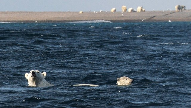 Белые медведи. Архивное фото