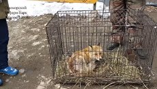 Переданная в Приморский сафари-парк лиса. Скриншот видео