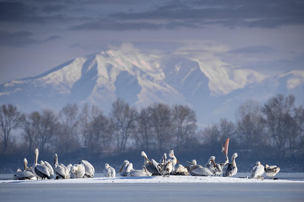 Далматинские пеликаны, озеро Керкини, Греция