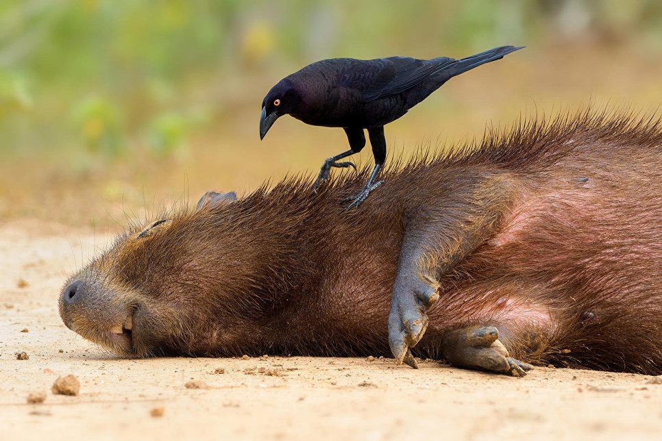 Большая воловья птица и капибара, Пантанал, Бразилия