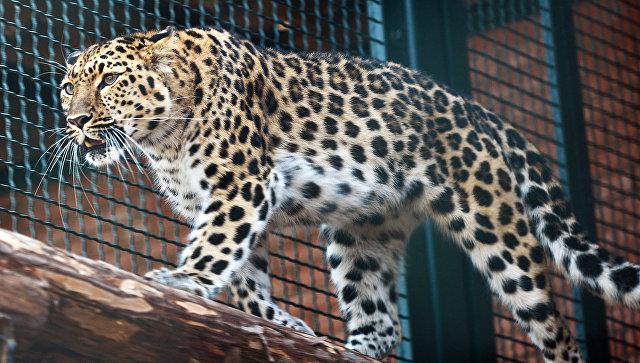СК проводит проверку после нападения леопарда на девочку в цирке в Москве