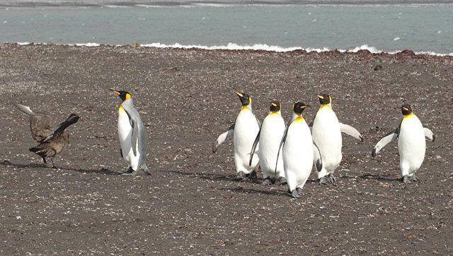 В Антарктиде птицы «обокрали» латвийских исследователей