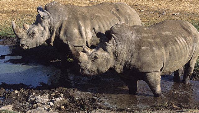 Усыпили последнего вмире самца северного белого носорога
