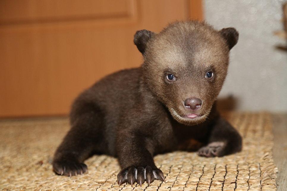 Медвежонок-сирота Маша на биостанции Чистый лес, деревня Бубоницы, Тверская область.