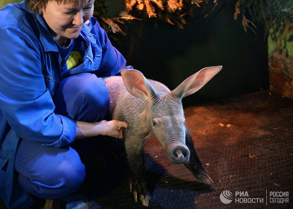 Новорожденный детеныш трубкозуба в Екатеринбургском зоопарке