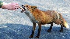 Прохожий кормит лису. Архивное фото