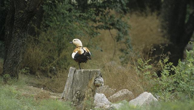 Огарь или красная утка, обитающая в биосферном заповеднике Аскания-Нова. Архивное фото