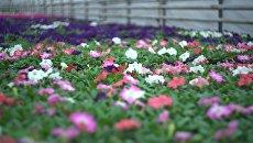 Весеннее озеленение: в Москве высадят 5 миллионов анютиных глазок