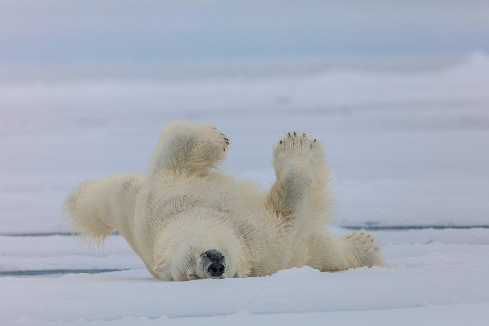 Белый медведь после купания, Земля Франца-Иосифа, национальный парк «Русская Арктика».