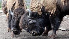 В Калужской области в дикую природу выпущено ещё семь зубров