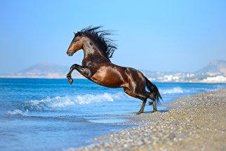 Молодой испанский жеребец рад свежести и простору моря и с удовольствием прыгает в набегающие волны