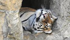 Годовалый амурский тигр в Московском зоопарке