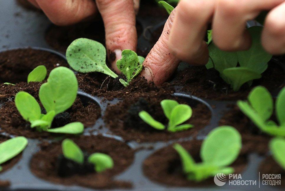 Сотрудница питомника растений высаживает рассаду