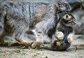 Самка манула со своим котенком, родившимся в мае 2018, в вольере Новосибирского зоопарка имени Р.А. Шило