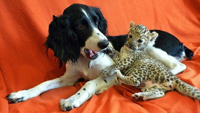 Детеныш леопарда, которого выкармливает спаниель Шери