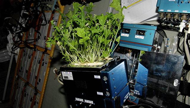 Капуста Мизуна растет на борту МКС. Архивное фото