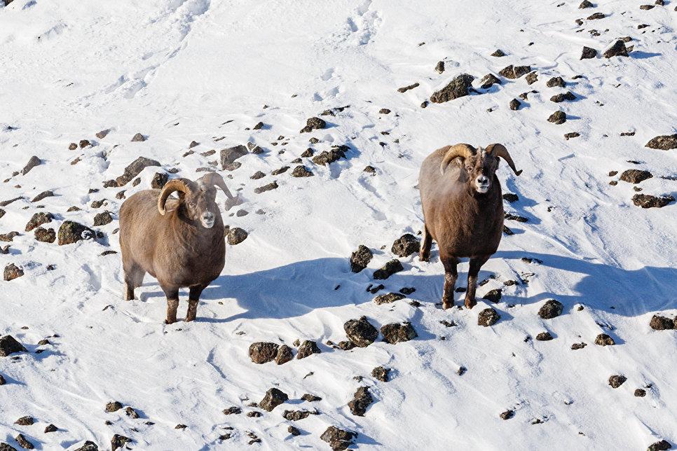Путоранские снежные бараны
