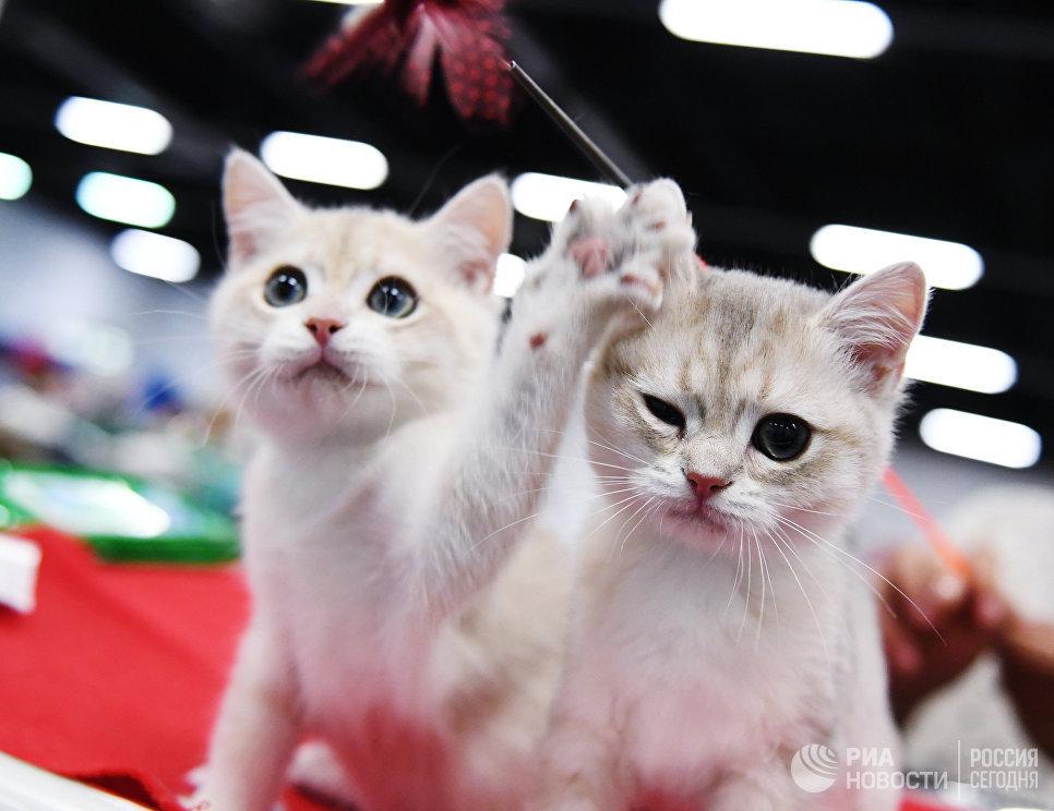 Котята породы британская на выставке в Сокольниках