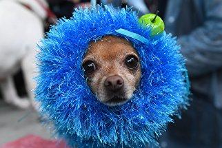 Собака породы русский той во время конкурса Дефиле в костюмах в рамках парада собак в парке Красная пресня