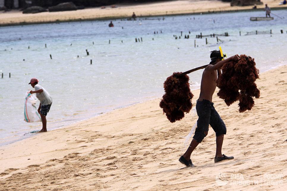 Сборка морских водорослей для спа-процедур на побережье Нуса Дуа.