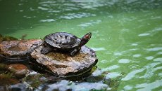 Черепаха, обитающая на территории посольства Великобритании в РФ