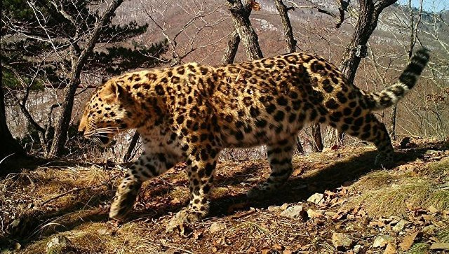 Дальневосточный леопард Leo 99M