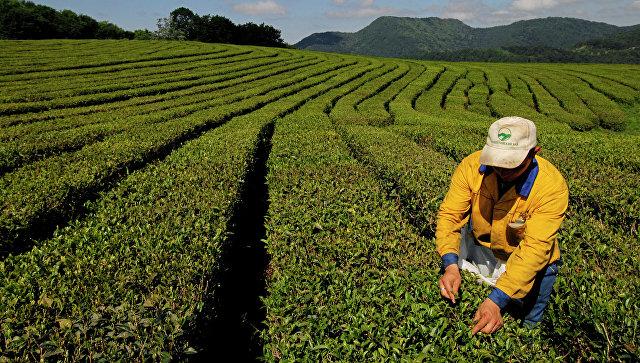 Депутаты Кубани предложили добавить чаеводство в госпрограмму по АПК