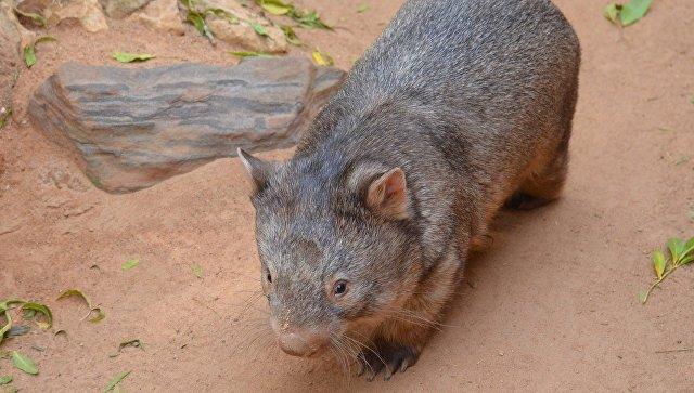 Физики раскрыли одну из главных тайн жизни австралийских вомбатов