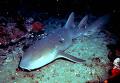 Серая акула-нянька