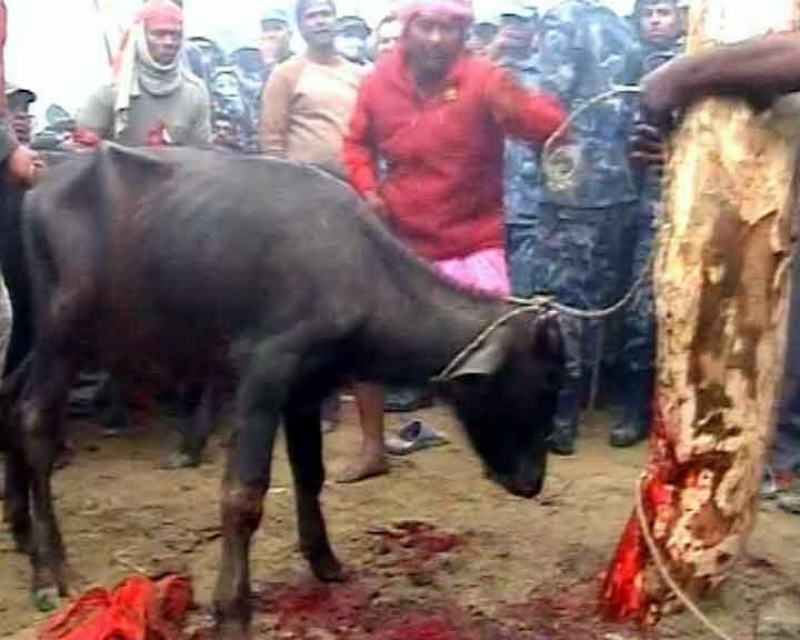 Жестокость или дань традиции: индусы принесли в жертву 200 тысяч животных