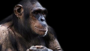 Бонобо. Архив