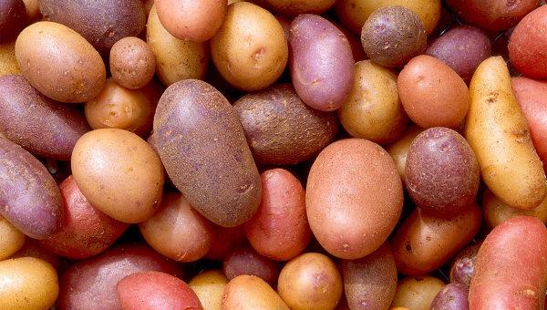 Картофель сорта La Bonnotte. Архивное фото