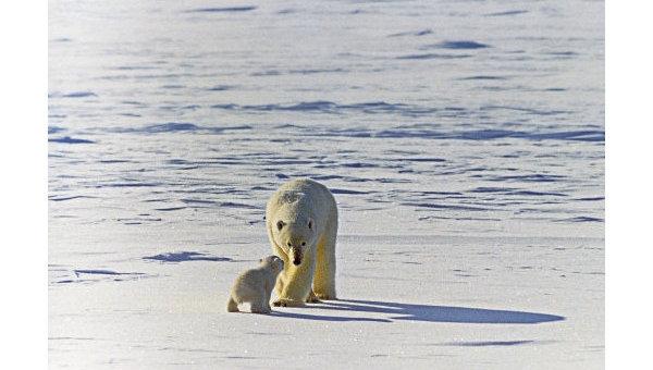 Белый (полярный) медведь. Справка