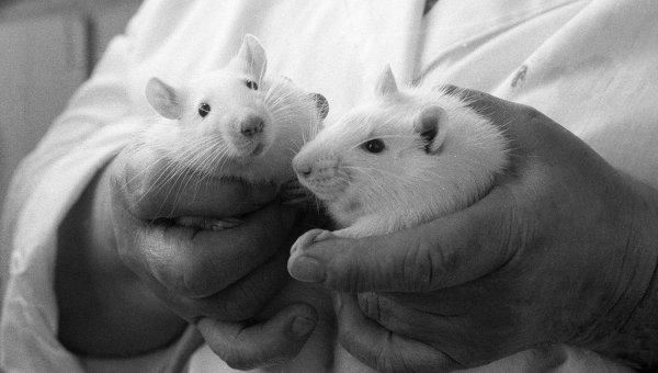 Ученые проводят опыты на мышах
