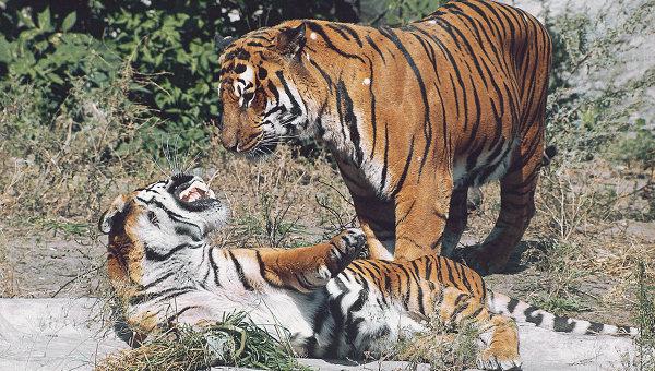Амурские тигры. архив