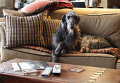Шотландский дирхаунд сидит на диване