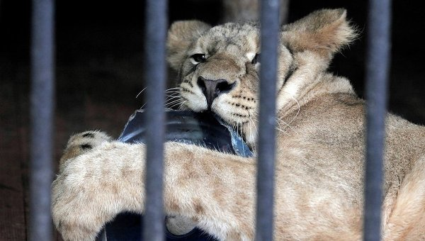 Молодая львица в зоопарке. Архивное фото