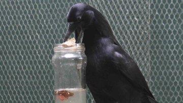 Новокаледонский ворон использует камни для извлечения кусочка мяса из цилиндрического сосуда