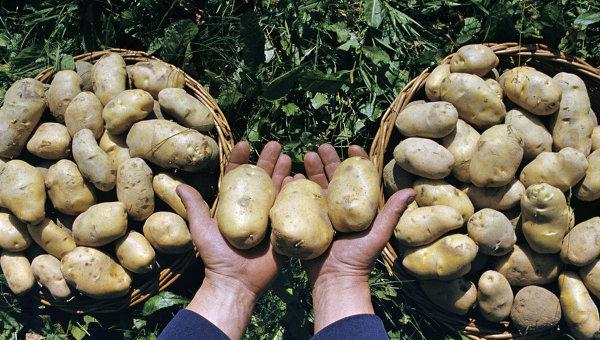 Картофель. Архив