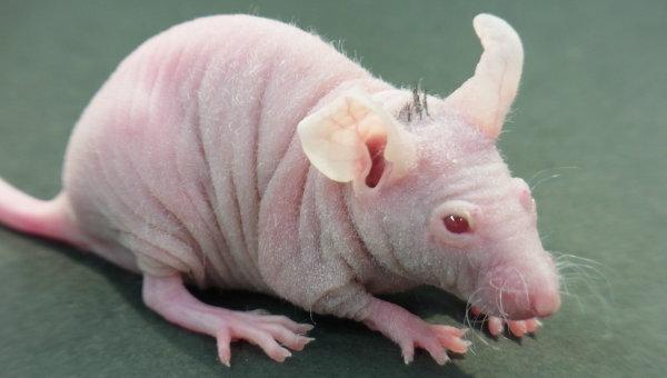 Голая мышь с высаженными человеческими волосами на затылке