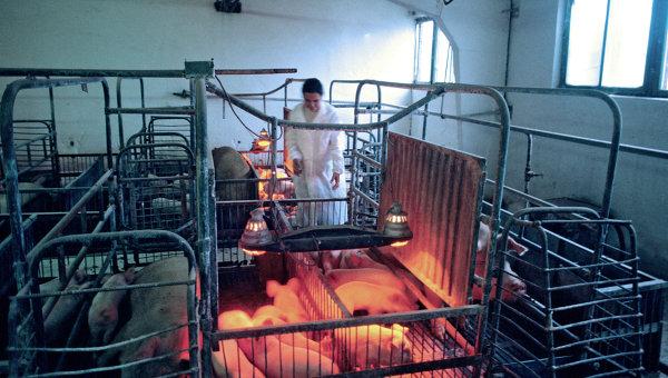 Уничтожение поголовья свиней, зараженных африканской чумой. Архивное фото