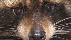 Сбежавший из зоопарка енот устроил переполох в ночном Калининграде
