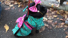 Собаки в костюмах гейш и летучих мышей позировали на камеры в Хэллоуин