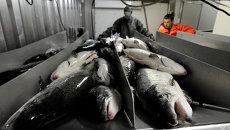 Рыбоводство - самая динамичная отрасль экономики Мурманской области